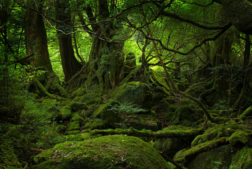 yakushima_forest